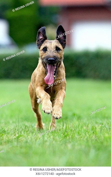 Westfalen Terrier, running, Lower Saxony, Germany