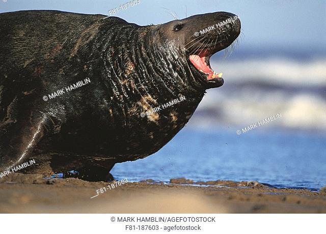 Grey Seal (Halichoerus grypus), bull calling. UK