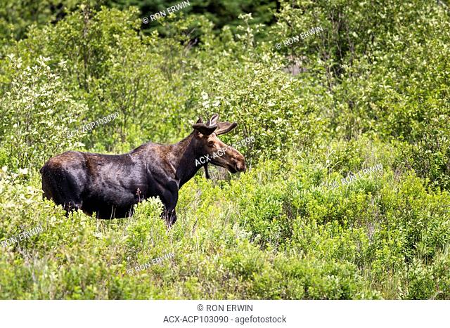 Bull Moose (Alces alces) with velvet antlers in Algonquin Provincial Park, Ontario, Canada