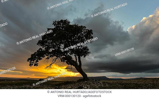 Tree at sunset. Almansa. Albacete province. Spain