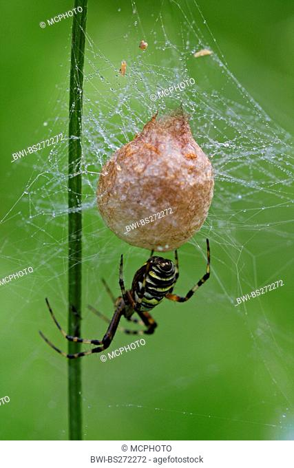 black-and-yellow argiope, black-and-yellow garden spider Argiope bruennichi, with cocoon in web in morning dew, Germany, Baden-Wuerttemberg