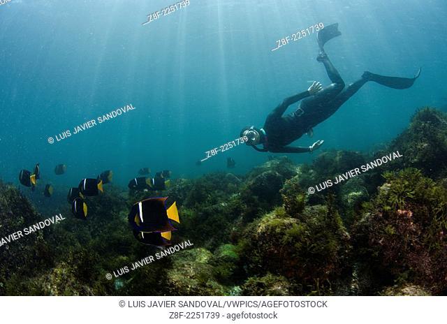 free diver champion Maria Teresa Solomons among a school of king angelfish, Holacanthus passer, at San Pedro Martir island, Sea of Cortez