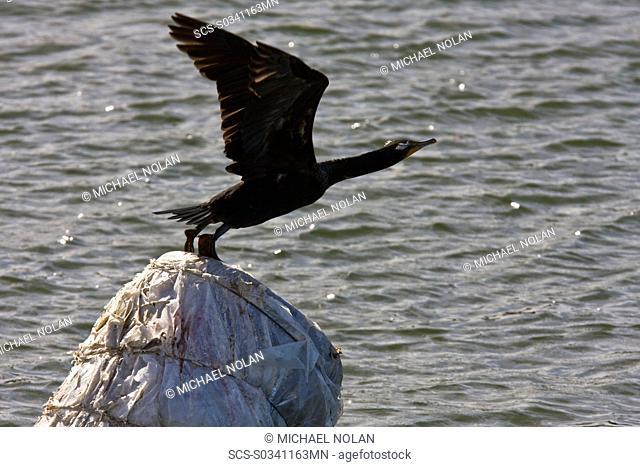 Adult double-crested cormorant Phalacrocorax auritus in Magdalena Bay between Isla Magdalena and the Baja Peninsula, Baja California Sur