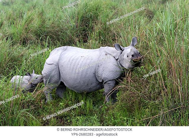 Indian rhinoceros (Rhinoceros unicornis), female with young standing in elephant grass, threatened species, Kaziranga National Park, Assam, India