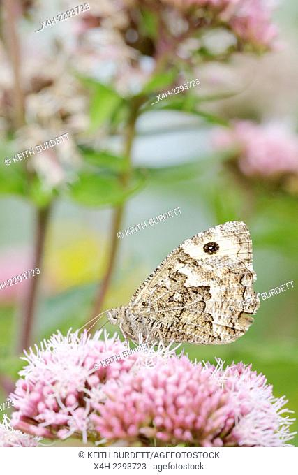 Hipparchia semele, Grayling butterfly feeding on Hemp Agrimony, Wales, UK