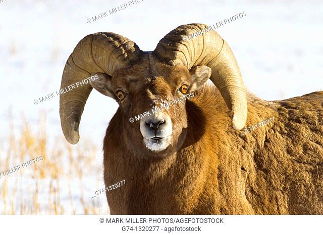 Bighorn Sheep Ram Portrait Rocky Mountains USA