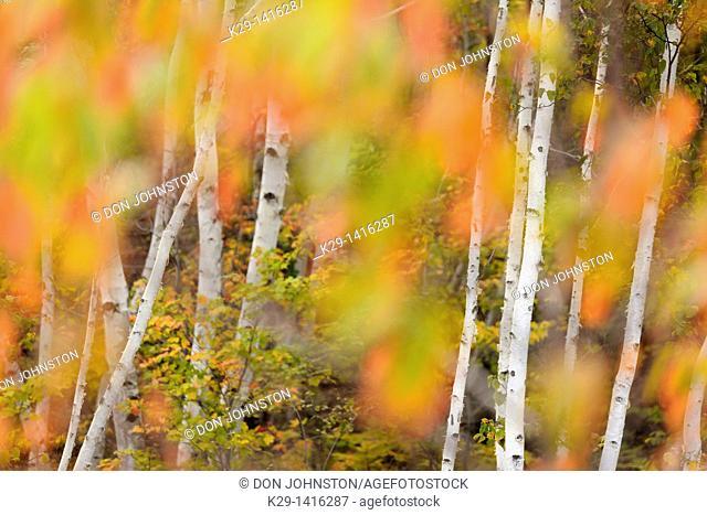Pincherry Prunus pennsylvanica turning colour in autumn Greater Sudbury Ontario