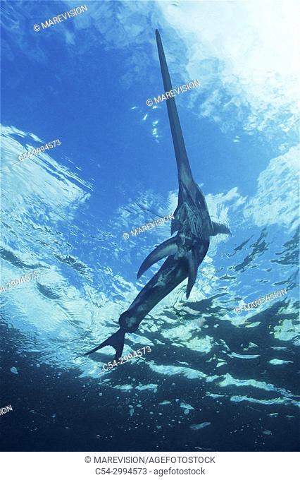Swordfish (Xiphias gladius). Offshore. Pelagic. Eastern Atlantic. Galicia. Spain. Europe