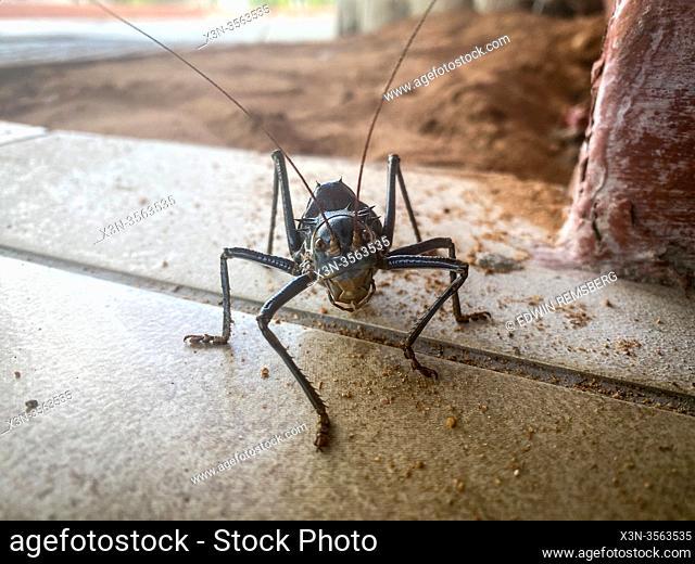 Armored Cricket (Acanthoplus discoidalis) in Etosha National Park, Namibia
