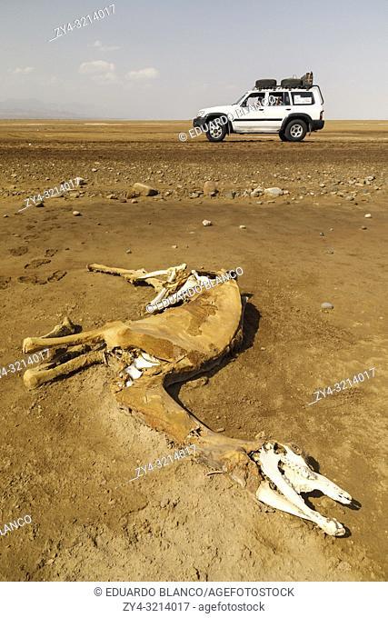 Dromedarie dead in Dallol. Danakil depression desert in Ethiopia. Africa