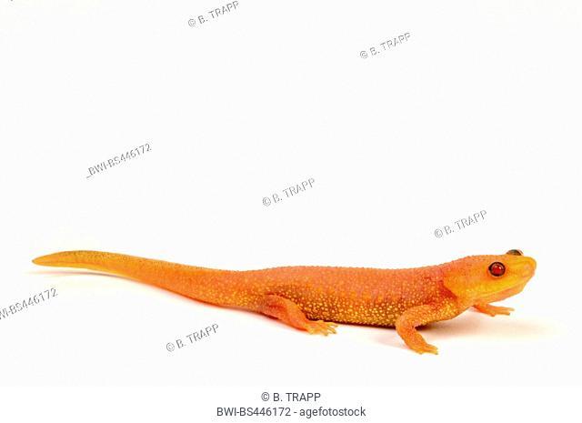 sharp-ribbed salamander, sharp-ribbed newt, Spanish ribbed newt, Iberian ribbed newt (Pleurodeles waltl), albino newt, cutout, Spain