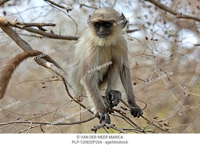 Gray langur / Hanuman langur Semnopithecus entellus juvenile in the Ranthambore National Park, Sawai Madhopur, Rajasthan, India