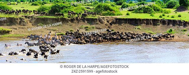 Blue wildebeest or common wildebeest, white-bearded wildebeest or brindled gnu (Connochaetes taurinus) crossing the Mara River