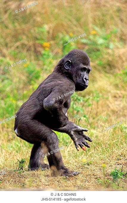 Lowland Gorilla, (Gorilla gorilla), young impressing, Africa