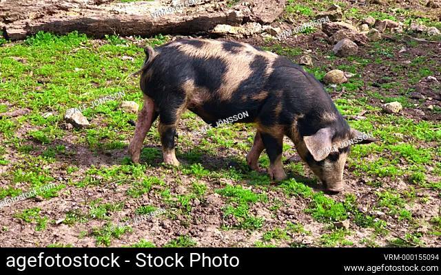 Young pig, 'Linderöds-pig' on pasture land in Östarp, Scania, Sweden, Scandinavia