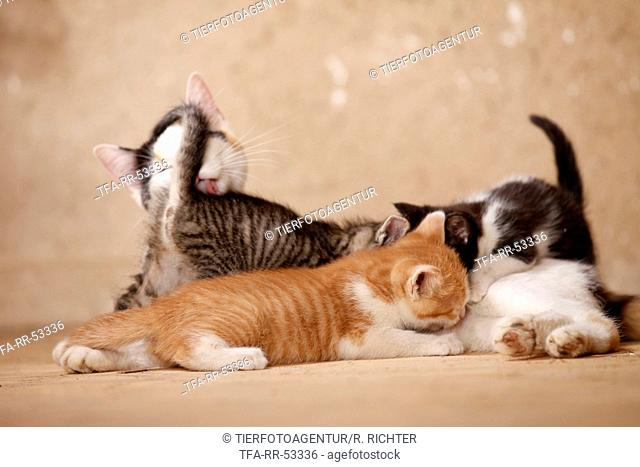 domsetic cats