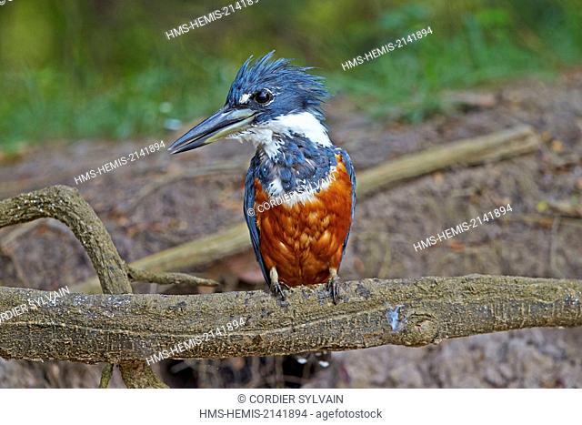 Brazil, Mato Grosso, Pantanal region, Ringed kingfisher (Megaceryle torquata)