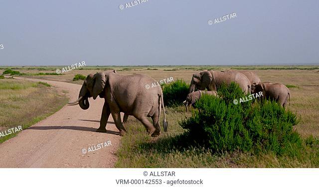 HERD OF AFRICAN ELEPHANTS CROSS TRACK; AMBOSELI, KENYA, AFRICA; 03/02/2016