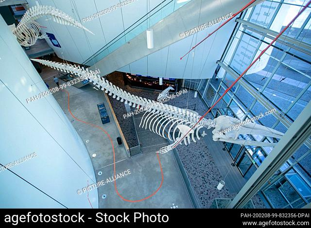 05 February 2020, Mecklenburg-Western Pomerania, Stralsund: A 14 meter long sperm whale skeleton hangs in the Ozeaneum. The Ozeaneum is the flagship of the...