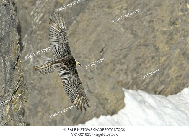 Gypaetus barbatus / Bartgeier / Laemmergeier / bearded vulture in front of a high precipice in the alps
