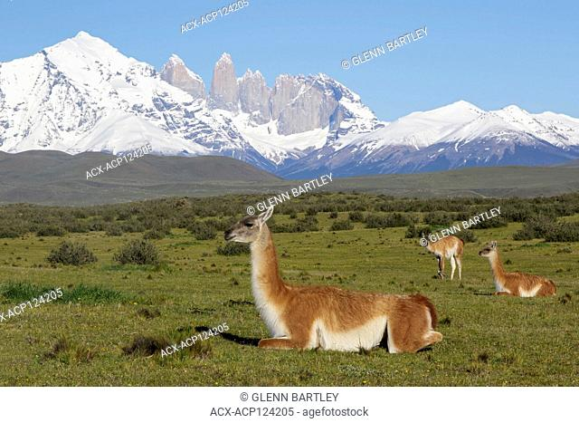 Guanaco grazingon the Torres del Paine National Park, Patagonia, Chile