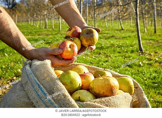 Apples for cider, Sidreria Petritegi, Astigarraga, Gipuzkoa, Basque Country, Spain, Europe