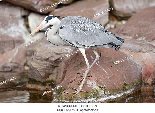 Grey heron, Ardea cinerea, rocks, at the side, is standing