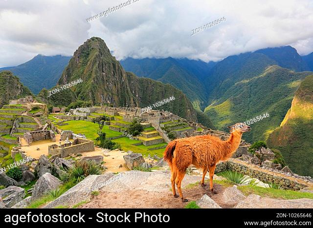 Llama standing at Machu Picchu overlook in Peru. In 2007 Machu Picchu was voted one of the New Seven Wonders of the World