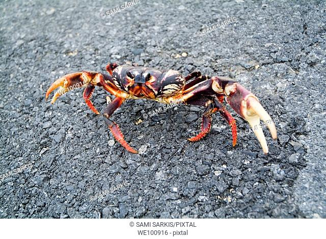 A red land crab (Gecarcinus lateralis) on the road to Maria la Gorda, Cuba