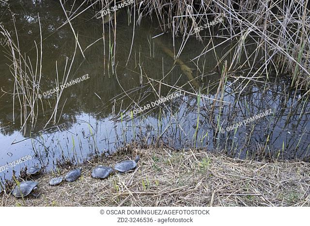 Red-eared slider (Trachemys scripta elegans) group resting on ground. Natural Areas of the Llobregat Delta. Barcelona province. Catalonia. Spain