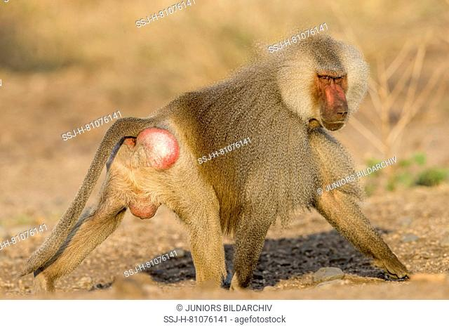 Hamadryas Baboon (Papio hamadryas). Dominant male walking. Awash National Park, Ethiopia