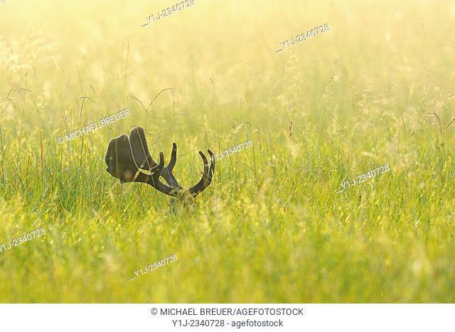 Fallow Deer (Cervus dama) in Summer, Hesse, Germany, Europe