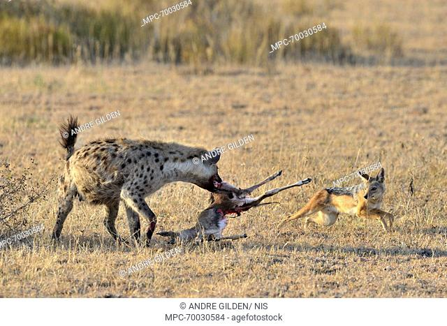 Spotted Hyena (Crocuta crocuta) with a Black-backed Jackal (Canis mesomelas) trying to steal carcass, Lake Ndutu, Serengeti National Park, Tanzania