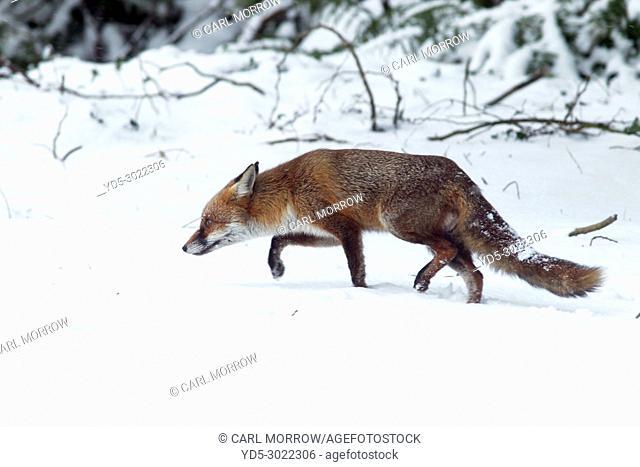 Red Fox in Winter, County Cavan, Ireland