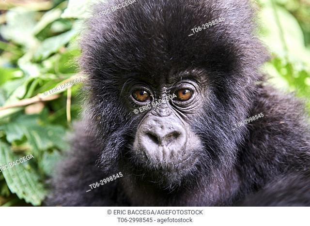 Head portrait of baby mountain gorilla (Gorilla beringei beringei), member of Humba group. Virunga National Park, North Kivu, Democratic Republic of Congo