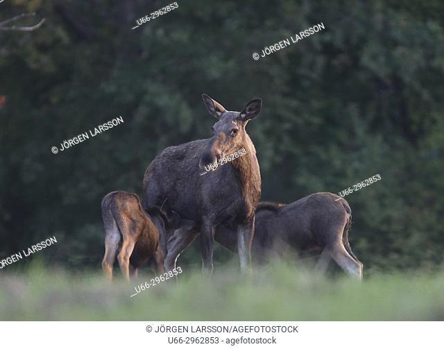 Moose with calves, Botkyrka, Sodermanland, Sweden