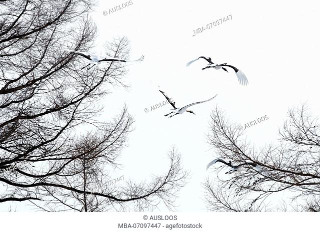 Japanese crane, Red-crowned crane (Grus japonensis) group flying, go away, Japan