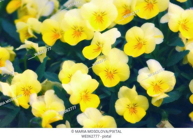 Yellow Pansies. Viola x wittrockiana. March 2006, Maryland, USA