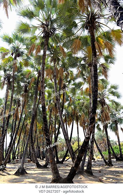 Real fan palm or Makalani palm (Hyphaene petersiana) is a dioicous palm native to south central Africa. Angiosperms. Arecaceae. Epupa, Namibia