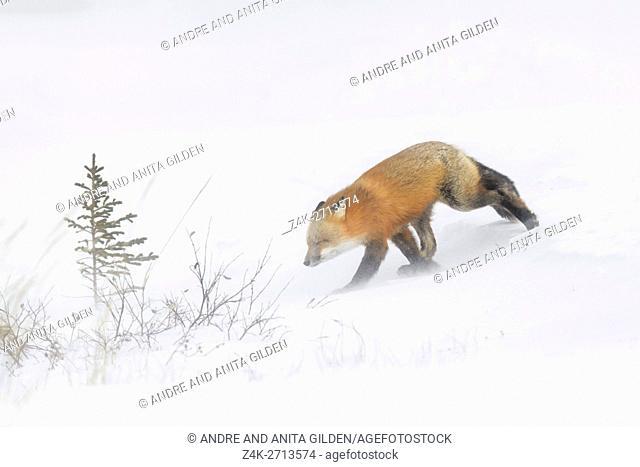 Red Fox (Vulpes vulpes) adult, walking in snow during blizzard, Churchill, Manitoba, Canada