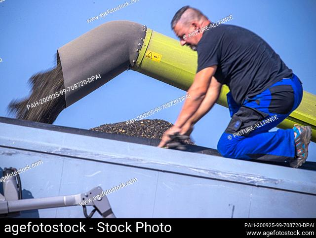 22 September 2020, Mecklenburg-Western Pomerania, Linstow: An employee monitors the loading of a truck at the edge of the field with sunflower seeds harvested...