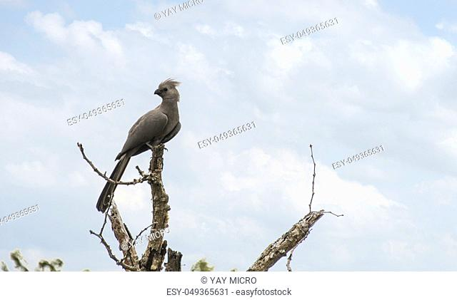 Grey go-away bird in Kruger national park, South Africa , Specie C orythaixoides concolor family of Musophagidae