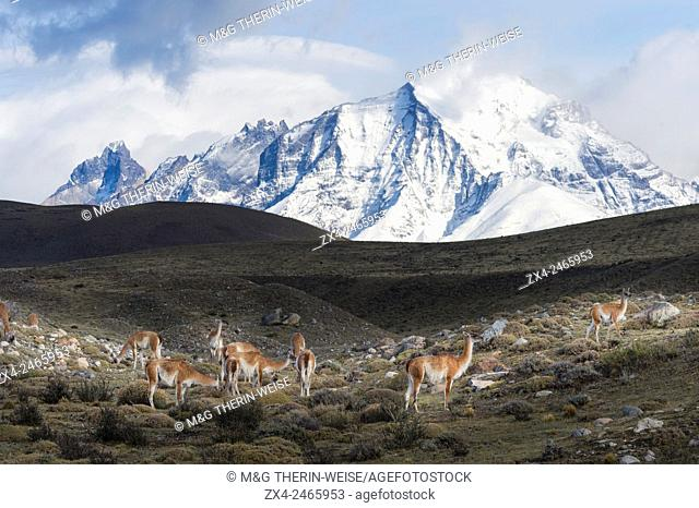 Guanacos (Lama guanicoe) on a ridge in front of snow-capped mountains, Torres del Paine National Park, Chilean Patagonia, Chile