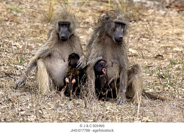 Chacma Baboon, (Papio ursinus), adult females with youngs suckling, Kruger Nationalpark, South Africa, Africa