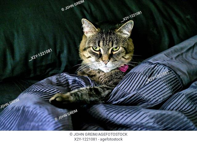 Cat in bed with black quilt and sheets