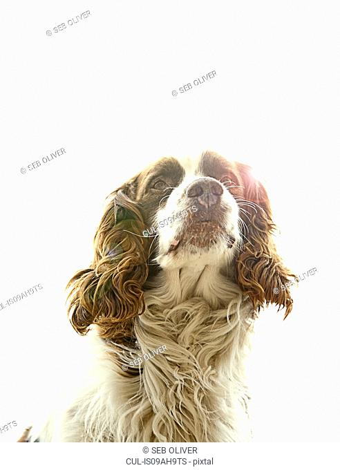 Portrait of springer spaniel