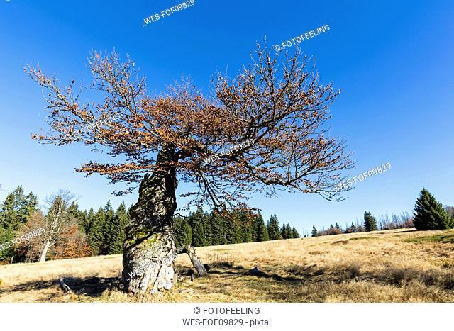 Germany, Bavaria, Lower Bavaria, Bavarian Forest National Park, Hochschachten, very old beech tree
