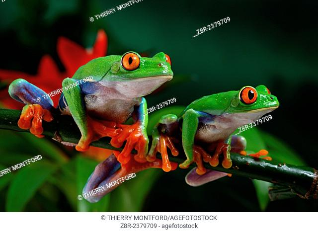 Agalychnis callidryas. red eyed tree frogs. Costa Rica