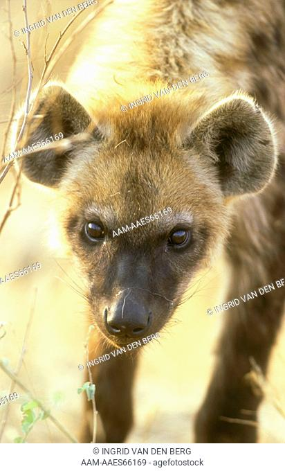 Spotted Hyaena (C. crocuta) portrait of a young, Kruger N.P., S. Africa