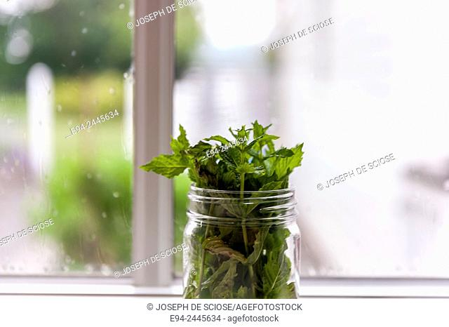 A jar of cut mint in mason jar on a windowsill in a home. Pittsburgh Pennsylvania USA